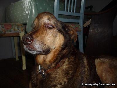 Гомеопатия в лечение опухоли молочной железы у собак thumbnail